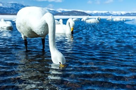 Whooper Swan or Cygnus cygnus swimming on Lake Kussharo in Winter at Akan National Park,Hokkaido,Japan, mountains covered by snow in background,birding adventure in Asia,beautiful elegant royal birds Reklamní fotografie - 123806238
