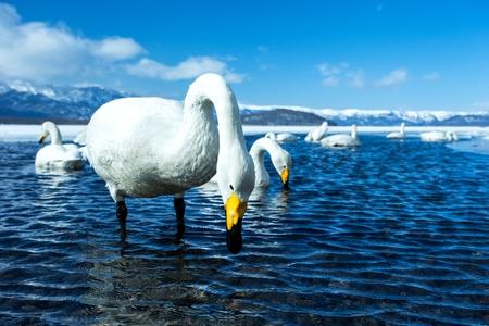 Whooper Swan or Cygnus cygnus swimming on Lake Kussharo in Winter at Akan National Park,Hokkaido,Japan, mountains covered by snow in background,birding adventure in Asia,beautiful elegant royal birds Reklamní fotografie - 123806240