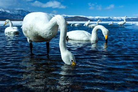 Whooper Swan or Cygnus cygnus swimming on Lake Kussharo in Winter at Akan National Park,Hokkaido,Japan, mountains covered by snow in background,birding adventure in Asia,beautiful elegant royal birds Reklamní fotografie - 123806241