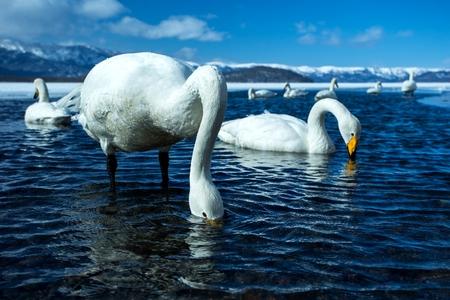 Cisnes cantores o Cygnus cygnus nadando en el lago Kussharo en invierno en el Parque Nacional Akan, Hokkaido, Japón, montañas cubiertas de nieve en el fondo, aventura de observación de aves en Asia, hermosas y elegantes aves reales