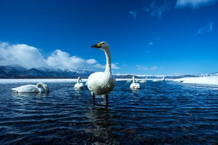 Whooper Swan or Cygnus cygnus swimming on Lake Kussharo in Winter at Akan National Park,Hokkaido,Japan, mountains covered by snow in background,birding adventure in Asia,beautiful elegant royal birds Reklamní fotografie - 123806246