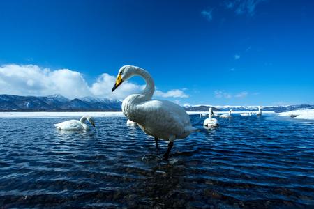 Whooper Swan or Cygnus cygnus swimming on Lake Kussharo in Winter at Akan National Park,Hokkaido,Japan, mountains covered by snow in background,birding adventure in Asia,beautiful elegant royal birds Reklamní fotografie - 123806247
