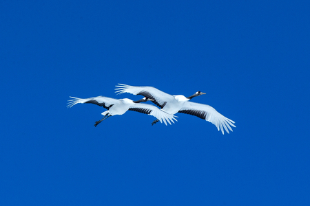 Red crowned cranes (grus japonensis) in flight with outstretched wings against blue sky, winter, Hokkaido, Japan, japanese crane, beautiful mystic national white and black birds, elegant animal Reklamní fotografie - 123806256