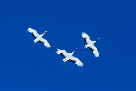 Red crowned cranes (grus japonensis) in flight with outstretched wings against blue sky, winter, Hokkaido, Japan, japanese crane, beautiful mystic national white and black birds, elegant animal Reklamní fotografie - 123806261