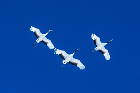 Red crowned cranes (grus japonensis) in flight with outstretched wings against blue sky, winter, Hokkaido, Japan, japanese crane, beautiful mystic national white and black birds, elegant animal Reklamní fotografie - 123806263