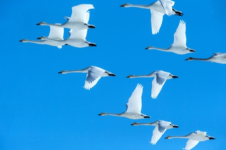Flock of whooper swans (Cygnus cygnus) in flight with outstretched wings against blue sky, winter, Hokkaido, Japan, beautiful royal white birds flying, elegant animal, exotic birding in Asia Reklamní fotografie - 123806270