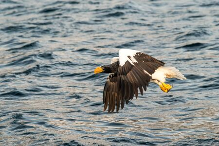 Steller´s sea eagle in flight hunting fish from sea,Hokkaido, Japan, Haliaeetus albicilla, majestic sea eagle with big claws aiming to catch fish from water surface, wildlife scene,birding  in Asia Reklamní fotografie - 126194626