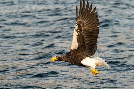 Steller´s sea eagle in flight hunting fish from sea,Hokkaido, Japan, Haliaeetus albicilla, majestic sea eagle with big claws aiming to catch fish from water surface, wildlife scene,birding  in Asia Reklamní fotografie - 126194625