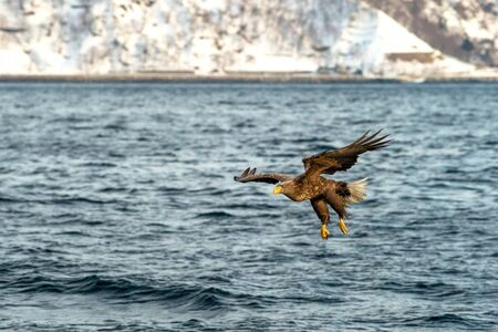 White-tailed eagle in flight hunting fish from sea,Hokkaido, Japan, Haliaeetus albicilla, majestic sea eagle with big claws aiming to catch fish from water surface, wildlife scene,birding  in Asia Reklamní fotografie - 126194633