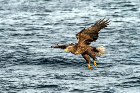 White-tailed eagle in flight hunting fish from sea,Hokkaido, Japan, Haliaeetus albicilla, majestic sea eagle with big claws aiming to catch fish from water surface, wildlife scene,birding  in Asia Reklamní fotografie - 126194632