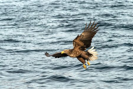 White-tailed eagle in flight hunting fish from sea,Hokkaido, Japan, Haliaeetus albicilla, majestic sea eagle with big claws aiming to catch fish from water surface, wildlife scene,birding  in Asia Reklamní fotografie - 126195042