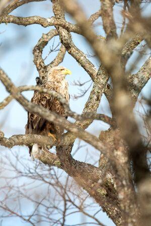 White-tailed eagle, Haliaeetus albicilla, sitting on tree in Hokkaido, Japan, during winter time, raptor perching on branch, isolated bird of prey, beautiful animal, exotic birding in Asia, adventure Reklamní fotografie - 126195039