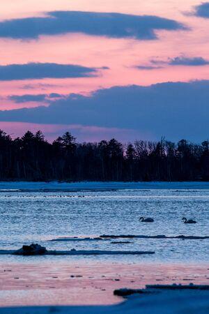 Whooper Swan or Cygnus cygnus swimming on Lake in Winter during magical colorful sunset,Hokkaido,Japan, fairytale, swan lake, wallpaper, birding adventure in Asia,beautiful elegant royal bird Reklamní fotografie - 126195054