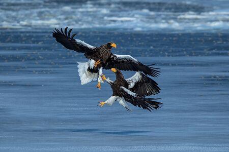 Zwei Stellers Seeadler kämpfen um Fische, Hokkaido, Japan, majestätische Seegreifer mit großen Krallen und Schnäbeln, Wildtierszene aus der Natur, Vogelbeobachtungsabenteuer in Asien, sauberer Hintergrund, Vögel im Kampf Standard-Bild