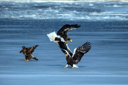 Two Stellers sea eagles fighting over fish, Hokkaido, Japan, majestic sea raptors with big claws and beaks, wildlife scene from nature,birding adventure in Asia,clean background,birds in fight