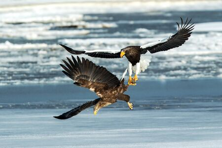 Stellers sea eagle and white-tailed eagle fighting over fish, Hokkaido, Japan, majestic sea raptors with big claws and beaks, wildlife scene from nature,birding adventure in Asia,birds in fight
