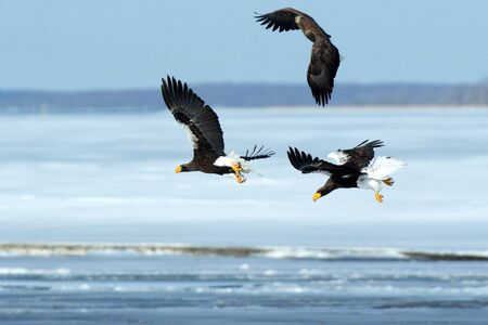 Stellers sea eagle and white-tailed eagle in flight, Hokkaido, Japan, majestic sea raptors with big claws and beaks, wildlife scene from nature,birding adventure in Asia,birds in flight