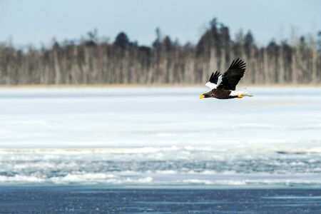 Stellers sea eagle in flight, Hokkaido, Japan, majestic sea raptors with big claws and beaks, wildlife scene from nature,birding adventure in Asia,beautiful winter scenery with flying bird