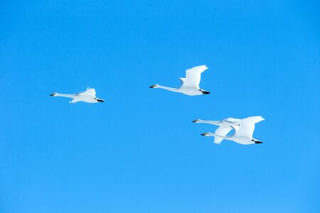 Flock of whooper swans (Cygnus cygnus) in flight with outstretched wings against blue sky, winter, Hokkaido, Japan, beautiful royal white birds flying, elegant animal, exotic birding in Asia