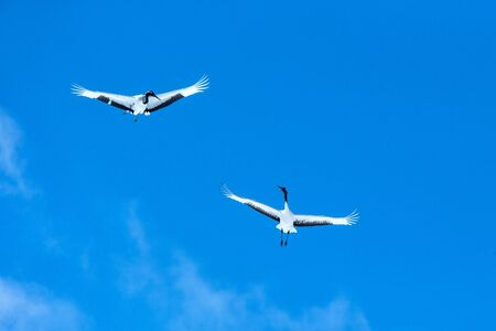 Red crowned cranes (grus japonensis) in flight with outstretched wings against blue sky, winter, Hokkaido, Japan, japanese crane, beautiful mystic national white and black birds, elegant animal Reklamní fotografie - 126195156