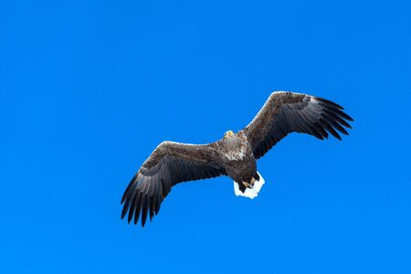 White-tailed eagle in flight, eagle flying against blue sky with clouds in Hokkaido, Japan, silhouette of eagle at sunrise, majestic sea eagle, wallpaper, bird isolated silhouette, birding in Asia Reklamní fotografie - 126195161