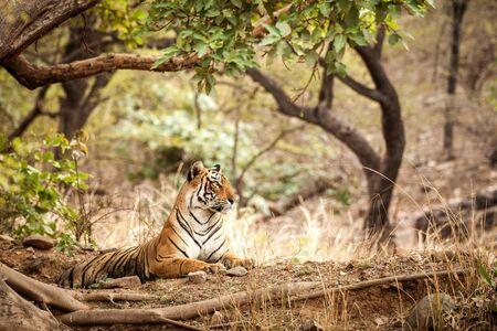 Wild Bengal Tiger (Panthera Tigris Tigris) having rest during hot day in its natural habitat.Ranthambore National Park, Rajasthan, India, endangered species, big beautiful cat