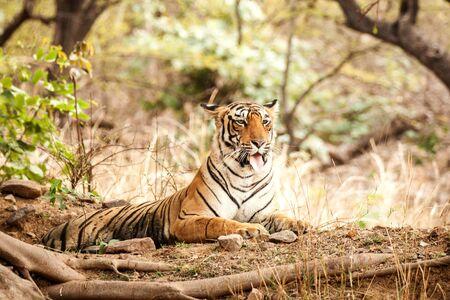Tigre del Bengala (Panthera Tigris Tigris) avente riposo durante la giornata calda nel suo habitat naturale.Parco nazionale di Ranthambore, Rajasthan, India, specie in via di estinzione, grande bellissimo gatto