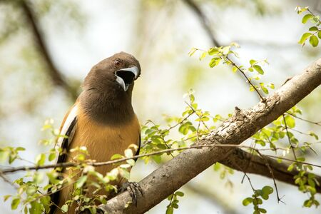 The rufous treepie (Dendrocitta vagabunda) sitting on branch and screaming, native to the Indian Subcontinent, wildlife bird photography, clear background
