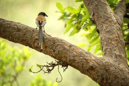 The rufous treepie (Dendrocitta vagabunda) sitting on branch in jungle, native to the Indian Subcontinent, wildlife bird photography, clear background, Ranthambore National Park, India