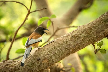 The rufous treepie (Dendrocitta vagabunda) sitting on branch and screaming, native to the Indian Subcontinent, wildlife bird photography, clear background Banque d'images - 129564389