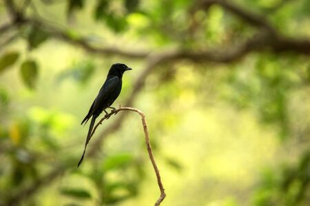 Black drongos (Dicrurus macrocercus) sitting on branch, native to the Indian Subcontinent, wildlife bird photography, clear background, Ranthambore, India
