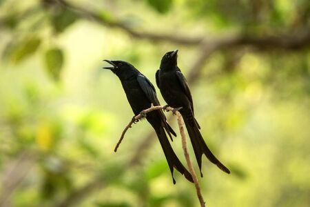 Couple of black drongos (Dicrurus macrocercus) sitting on branch and screaming or singing, native to the Indian Subcontinent, wildlife bird photography, clear background, Ranthambore, India