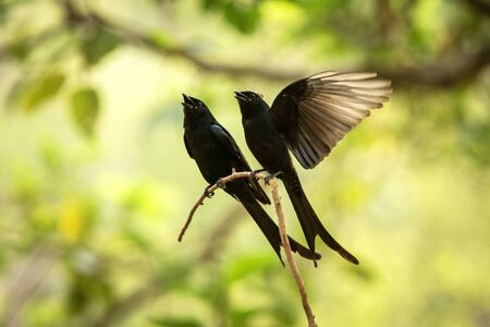 Couple of black drongos (Dicrurus macrocercus) sitting on branch and screaming or singing, native to the Indian Subcontinent, wildlife bird photography, clear background, Ranthambore, India Banque d'images - 129555701