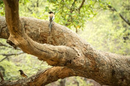Couple of rufous treepies (Dendrocitta vagabunda) sitting on branch in jungle, native to the Indian Subcontinent, wildlife bird photography, clear background, Ranthambore National Park, India Reklamní fotografie