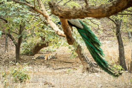 Wild Bengal Tiger (Panthera Tigris Tigris) having rest sleeping during hot day under tree in its natural habitat,peacock pearching on branch.Ranthambore National Park, Rajasthan, India, lazy big cat