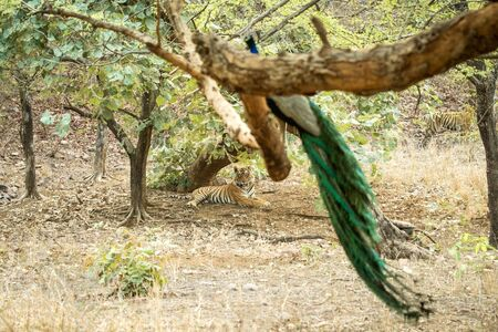 Wild Bengal Tiger (Panthera Tigris Tigris) having rest during hot day under tree in its natural habitat and observing peacock on branch.Ranthambore National Park, Rajasthan, India, endangered species