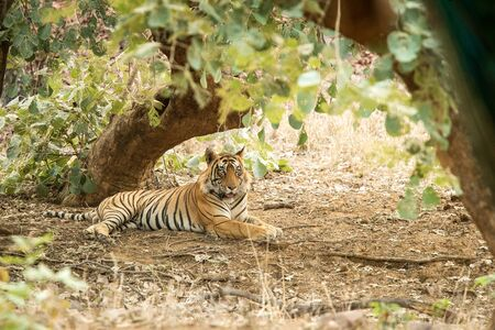 Wild Bengal Tiger (Panthera Tigris Tigris) having rest during hot day under tree in its natural habitat.Ranthambore National Park, Rajasthan, India, endangered species, exotic adventure with big cat