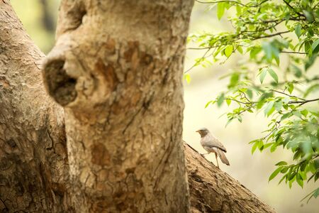 Song dird sitting on branch in jungle, native to the Indian Subcontinent, wildlife bird photography, clear background, Ranthambore National Park, India