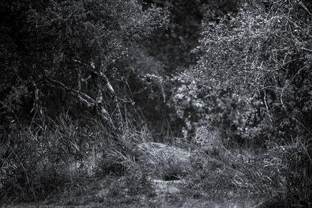 Leopard in the rainforest, The Sri Lankan leopard (Panthera pardus kotiya) resting in bush, wildlife photography, Yala national park, Sri Lanka, beautiful big cat, exotic adveture in Asia Reklamní fotografie