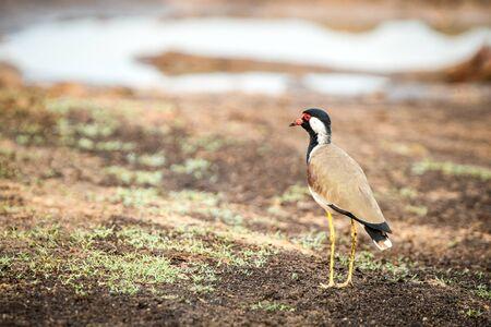 Red-wattled Lapwing (Vanellus Indicus) stands on lake shore, in natural habitat, Yala National Park, Sri Lanka, beautiful colorful bird, Exotic birdwaitching in Asia Reklamní fotografie