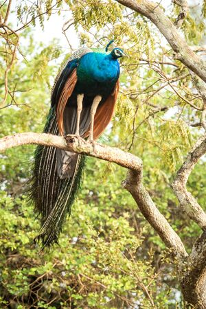 Male Indian Peafowl (Pavo cristatus) perched on a big tree branch, Yala National park, Sri Lanka, beautiful ellegant and colorful bird with crown in natural enrironment, birdwatching in Asia Reklamní fotografie