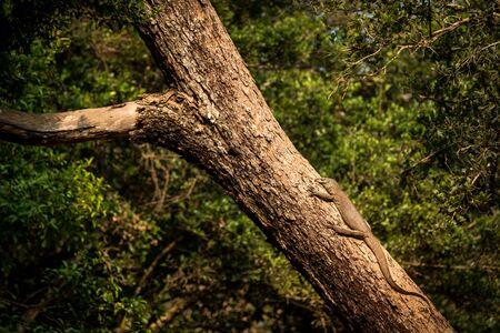 Bengal monitor lizard (Varanus bengalensis). Reptile varan resting on big tree in jungle of Sri Lanka. Common Indian monitor. Ceylon dragon. Wildlife of Sri Lanka, exotic photography tour in Asia