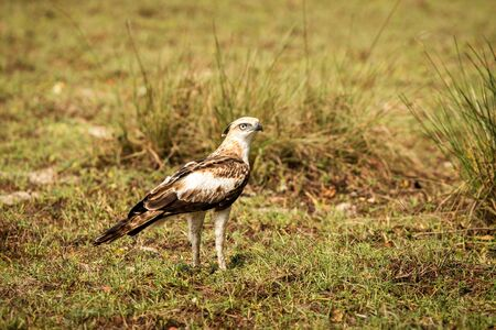 Changeable hawk-eagle or crested hawk-eagle (Nisaetus cirrhatus), bird of prey of the Indian subcontinent, India and Sri Lanka, raptor standing on ground and searching for prey Reklamní fotografie