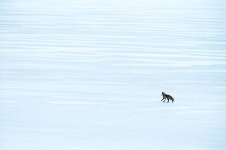 Red Fox (Vulpes vulpes) running on white field during winter on Hokkaido, Japan, clear background,exotic adventure in Asia, beautiful mammal, wildlife scene