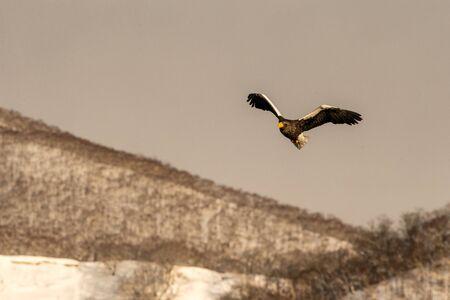 Stellers sea eagle flying in front of winter mountains scenery in Hokkaido, Bird silhouette. Beautiful nature scenery in winter. Mountain covered by snow, birding in Asia, wallpaper,Japan