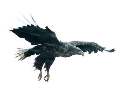White-tailed eagle in flight, eagle flying against white background,Hokkaido, Japan, silhouette of eagle, majestic sea eagle, wildlife scene, wallpaper, bird isolated silhouette, long exposure photo