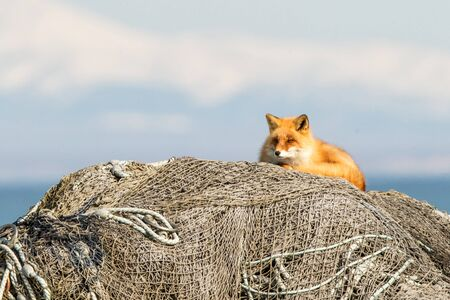Resting Red Fox (Vulpes vulpes) on fishermen nets during winter on Hokkaido, Japan, clear background with sea and mountain covered by snow, exotic adventure in Asia