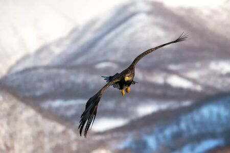 White-tailed eagle flying in front of winter mountains scenery in Hokkaido, Bird silhouette. Beautiful nature scenery in winter. Mountain covered by snow, glacier. Panoramatic view, Japan Reklamní fotografie