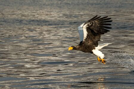 Steller´s sea eagle in flight hunting fish from sea,Hokkaido, Japan, Haliaeetus albicilla, majestic sea eagle with big claws aiming to catch fish from water surface, wildlife scene,birding  in Asia Reklamní fotografie