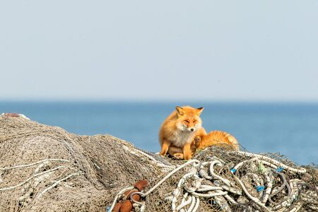 Resting Red Fox (Vulpes vulpes) on fishermen nets during winter on Hokkaido, Japan, clear background with sea, exotic adventure in Asia Reklamní fotografie